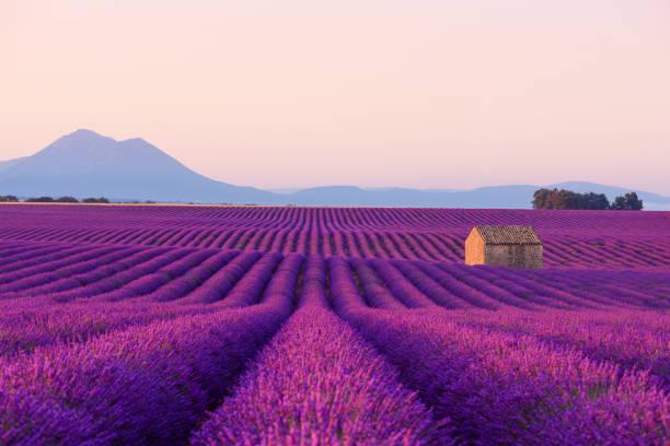 在盛開的薰衣草田的法國小農村房子 - 法國 個照片及圖片檔