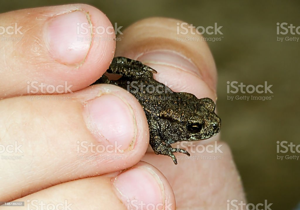 Small frog in a hand of the child stock photo