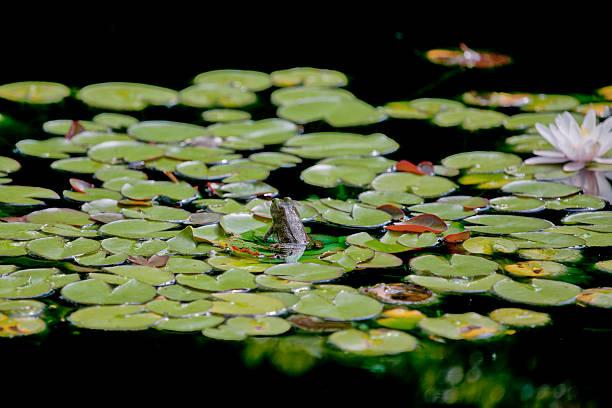 small frog on lilypad stock photo