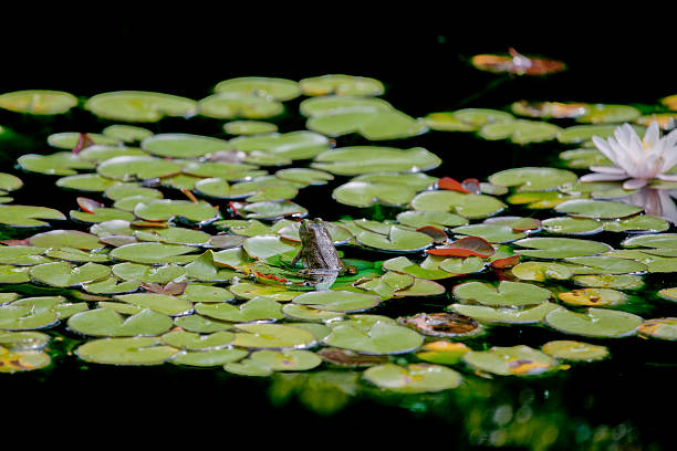 small frog on lilypad stock photo