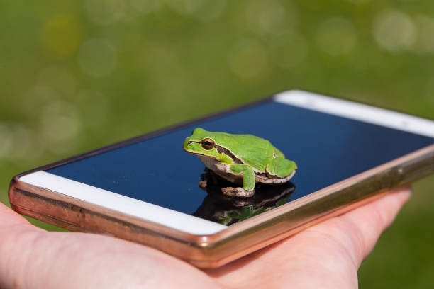 small frog on smart phone - funny photography, small european tree frog - croak stock pictures, royalty-free photos & images