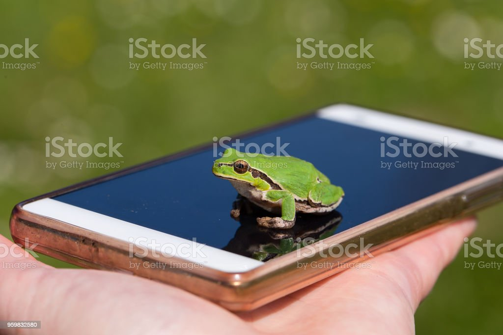 Small Frog on smart phone - funny photography, small European tree frog stock photo