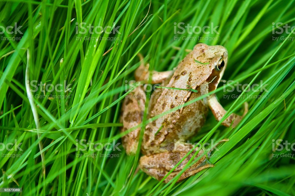 Small Frog royalty-free stock photo