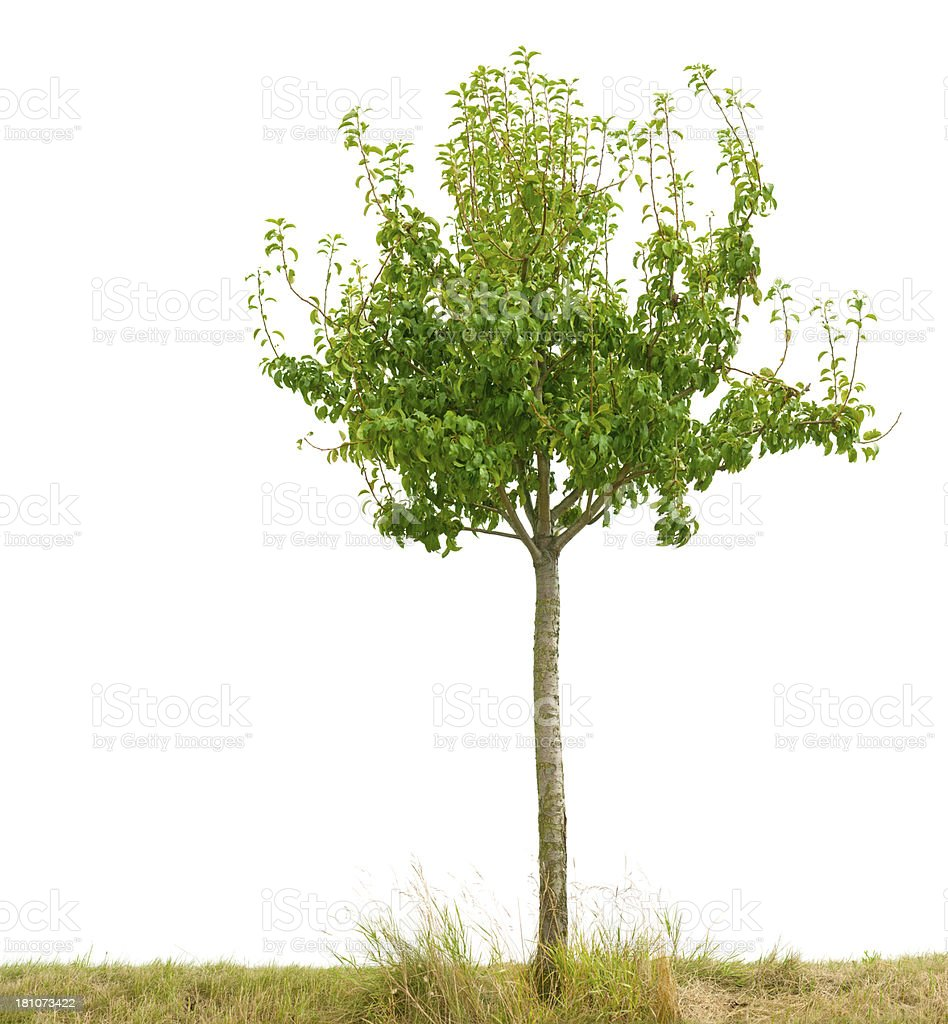 Small fruit tree (Pear) isolated on white. Small fruit tree isolated on white. Copy Space Stock Photo