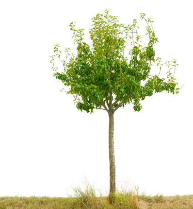 Small Fruit Tree Isolated On White Stock Photo - Download Image Now