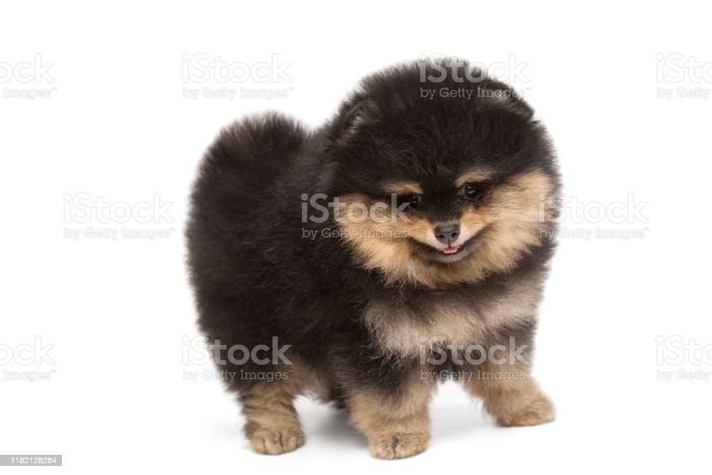 Small Funny Black Pomeranian Puppy Stock Photo Download Image Now Istock