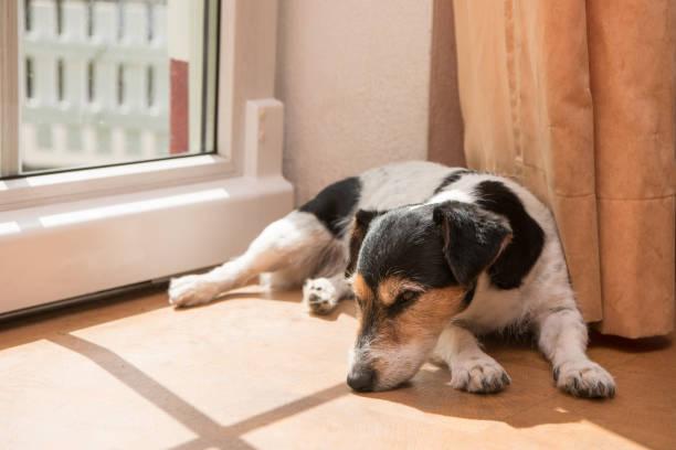 kleine lustiger süße Jack Russell Terrier Hund liegt auf der Seite auf dem Boden. – Foto