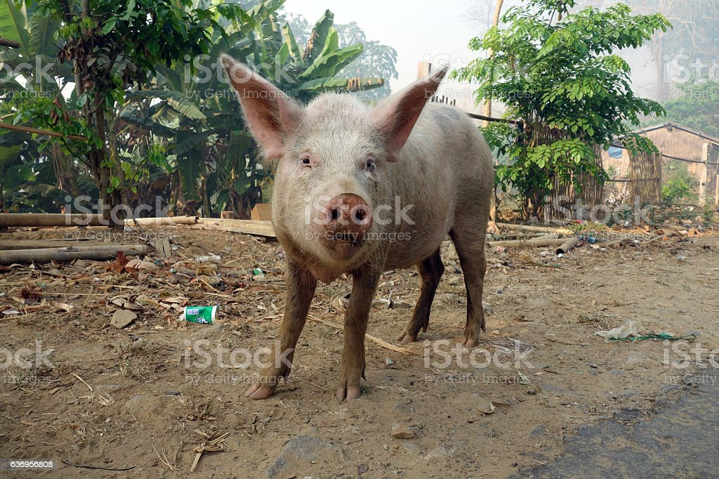 Small funny pig in Myanmar stock photo