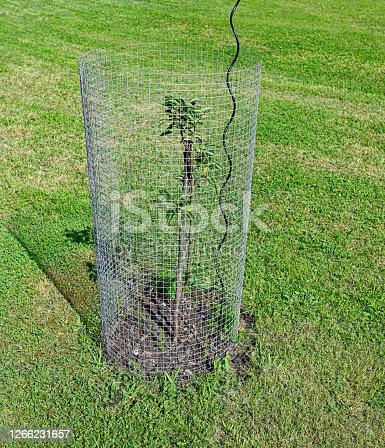 small garde tree with metal fence around it in Swedish garden