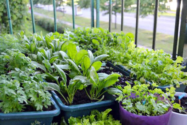 유럽 도시에 있는 블록 하우스의 발코니에 작은 정원. 식물 상자와 화분에서 자라는 채소와 허브. - 딜 허브 뉴스 사진 이미지