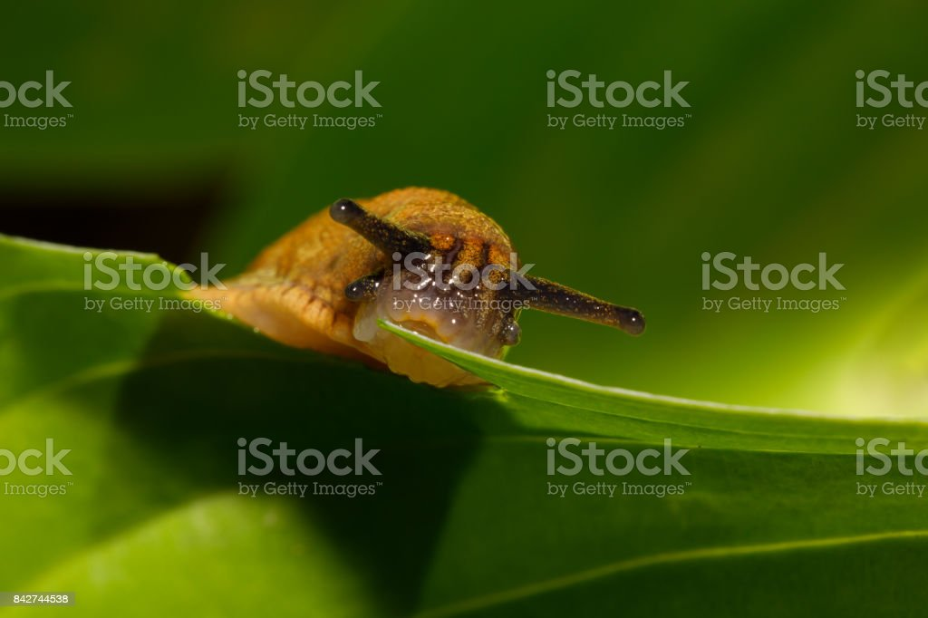 small garden slug eating plant stock photo