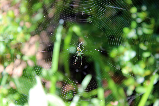small garden spider centered in large web - pam schodt stock photos and pictures