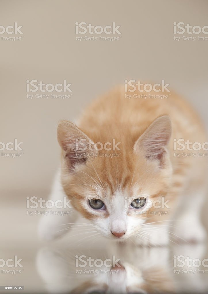 Small ginger and white kitten hunting looking at camera royalty-free stock photo