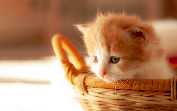 small ginger kitten in the basket in home small ginger kitten in the basket in home. thanksgiving pets stock pictures, royalty-free photos & images