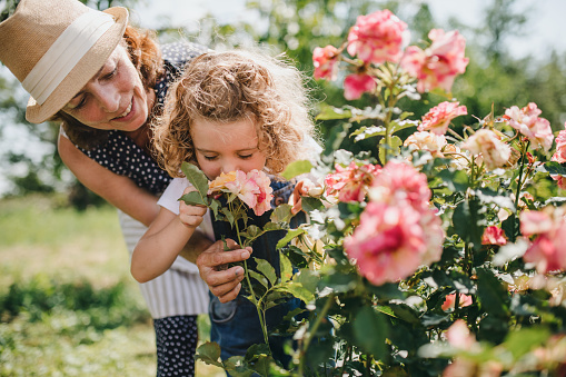 Small girl with senior grandmother smelling roses in the backyard garden.