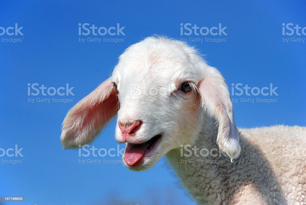 Small goat appearing to bleat for attention stock photo