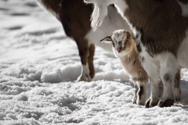 Small goat stands in the snow stock photo