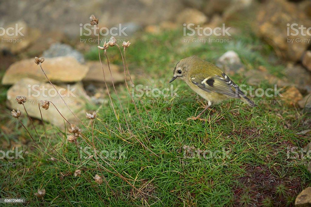 Small Goldcrest bird on Ramsey Island. stock photo