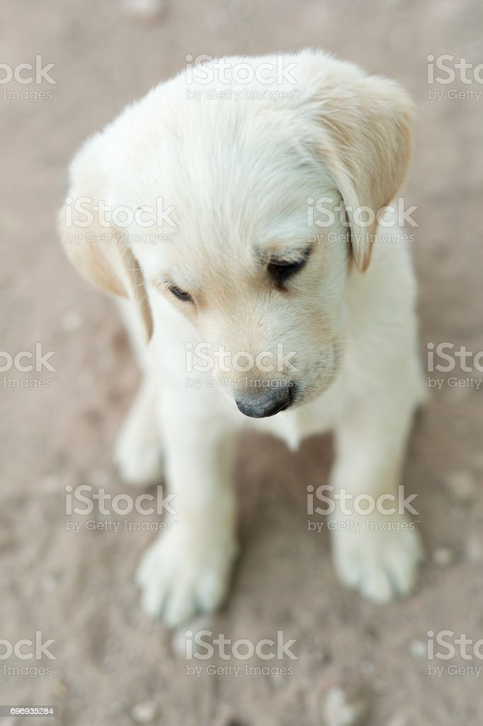 Small Golden Retriever Puppy Stock Photo Download Image Now Istock