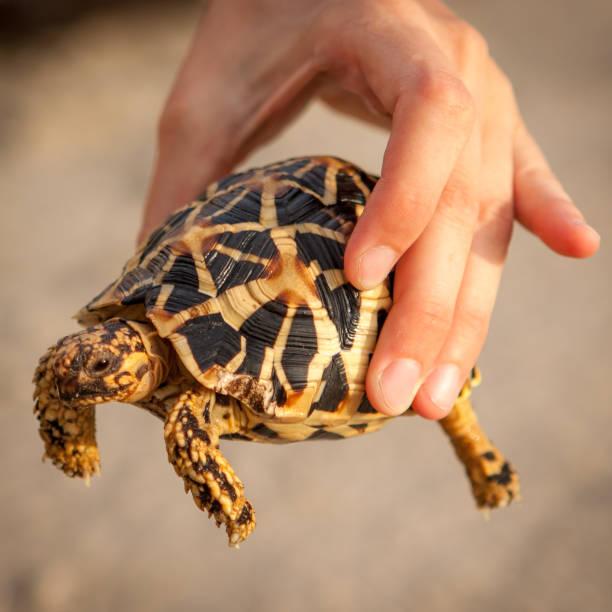 kleine goldene schildkröte halten in der hand. - babyschildkröten stock-fotos und bilder