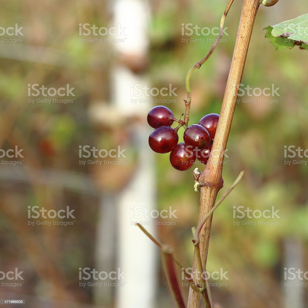 Small grapes remaining after harvest royalty-free stock photo