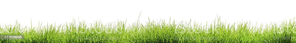 Small Grass in white background stock photo