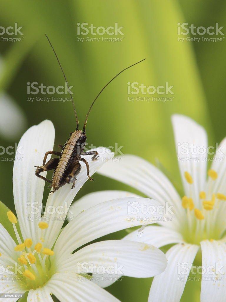 small grasshopper on flower of Addersmeat (Stellaria holostea) royalty-free stock photo