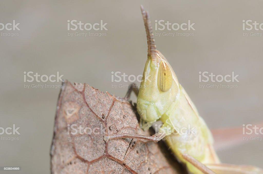 Small Grasshopper stock photo