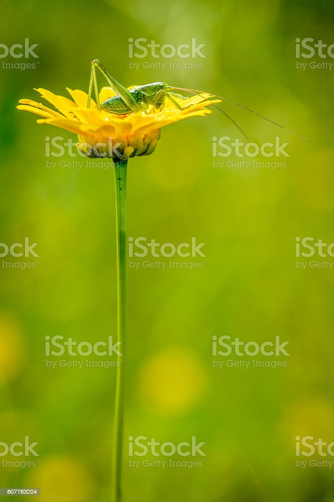 small grasshoppers on yellow flower stock photo
