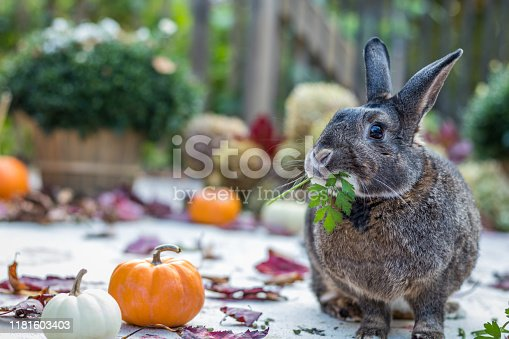 Small gray and white rabbit surrounded by colorful fall leaves, pumpkins and mums, fall scene