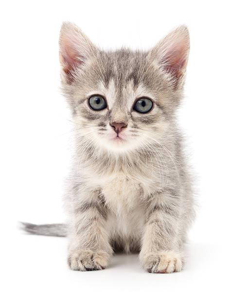 Small gray kitten picture id639609856?b=1&k=6&m=639609856&s=612x612&w=0&h=87raosametmgkj62lmnktfxvftknm8vrfkpfb81keiu=