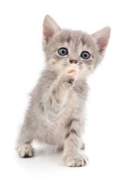 Small gray kitten picture id939770838?b=1&k=6&m=939770838&s=612x612&w=0&h=ny76ckptinpqlsubjerx fyngsop4pf f593cjvnjei=