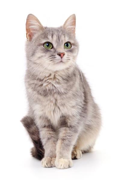 Small gray kitten picture id939770842?b=1&k=6&m=939770842&s=612x612&w=0&h=gbb fajev wie1goef0ode f0chv0kjpsxt5agyggcu=
