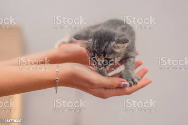 Small gray kitten sits on hands picture id1183775337?b=1&k=6&m=1183775337&s=612x612&h=vuajianwl65yme2mfegnjpio8vlmxdt9w6p6gfhbfn0=