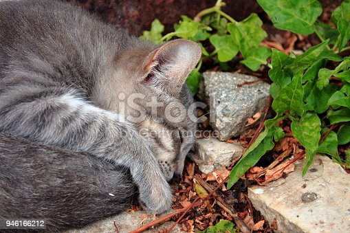 istock Small gray kitten sleeping in the garden 946166212