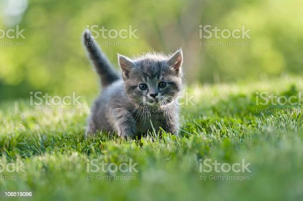Small gray kitten with tail up walking on the grass picture id106519096?b=1&k=6&m=106519096&s=612x612&h=mhgouj sjbekmjza ukdh3ovl8ldraqz1sglrovxjp4=