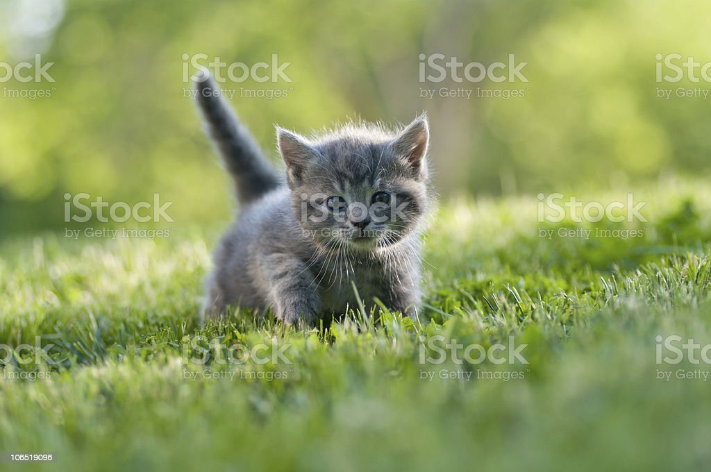 Small gray kitten with tail up walking on the grass stock photo