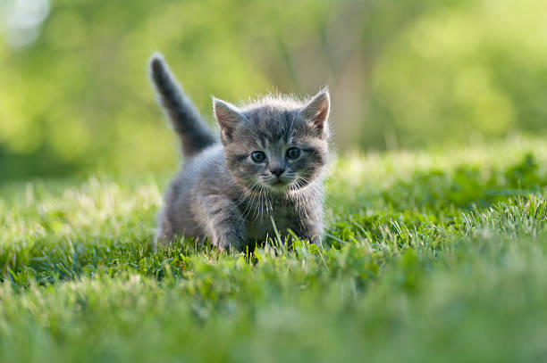 small gray kitten with tail up walking on the grass - kitten stock photos and pictures
