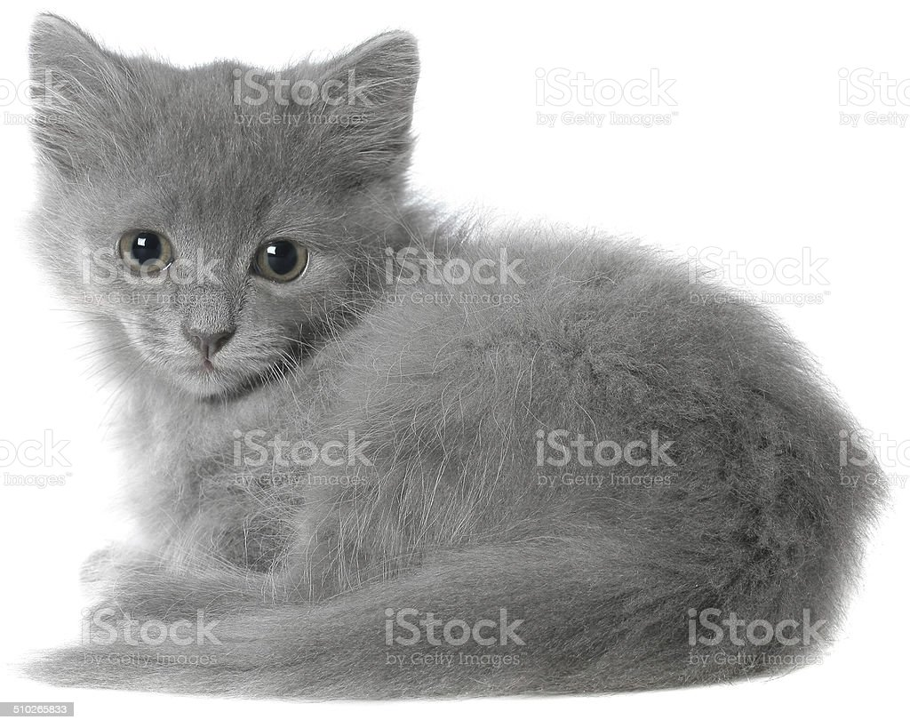 Small gray long haired kitten sitting isolated. stock photo