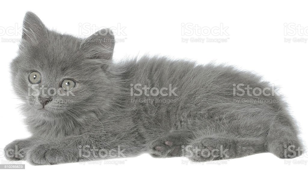 Small gray shorthair kitten lie with stock photo