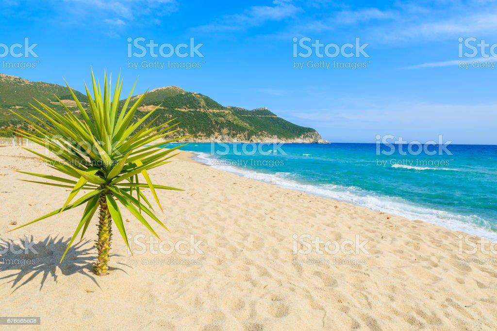 Small green agave plant on sand and view of blue sea, Capo Boi beach, Sardinia island, Italy stock photo