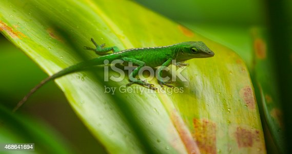 Small green Anole lizard in Maui