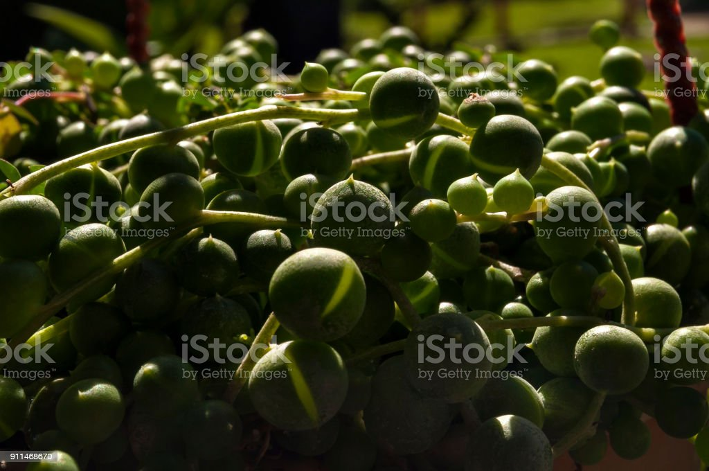 Kleine Grüne Kugeln Im Garten Stock-Fotografie und mehr Bilder von ...