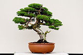 Bonsai tree in a pot and with white background
