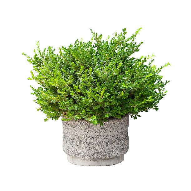 Small green decorative bush growing in pod isolated on white picture id185726237?b=1&k=6&m=185726237&s=612x612&w=0&h=qh9yq616 jctkk0iww5xdf0xya8el 7zj cbigrulqy=