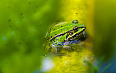 Close-up of a Beautiful Green Frog