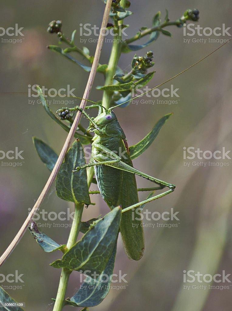 Small green grasshopper on grass. stock photo