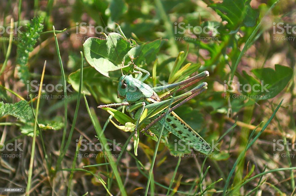 Small green grasshopper on leaf  grass. stock photo