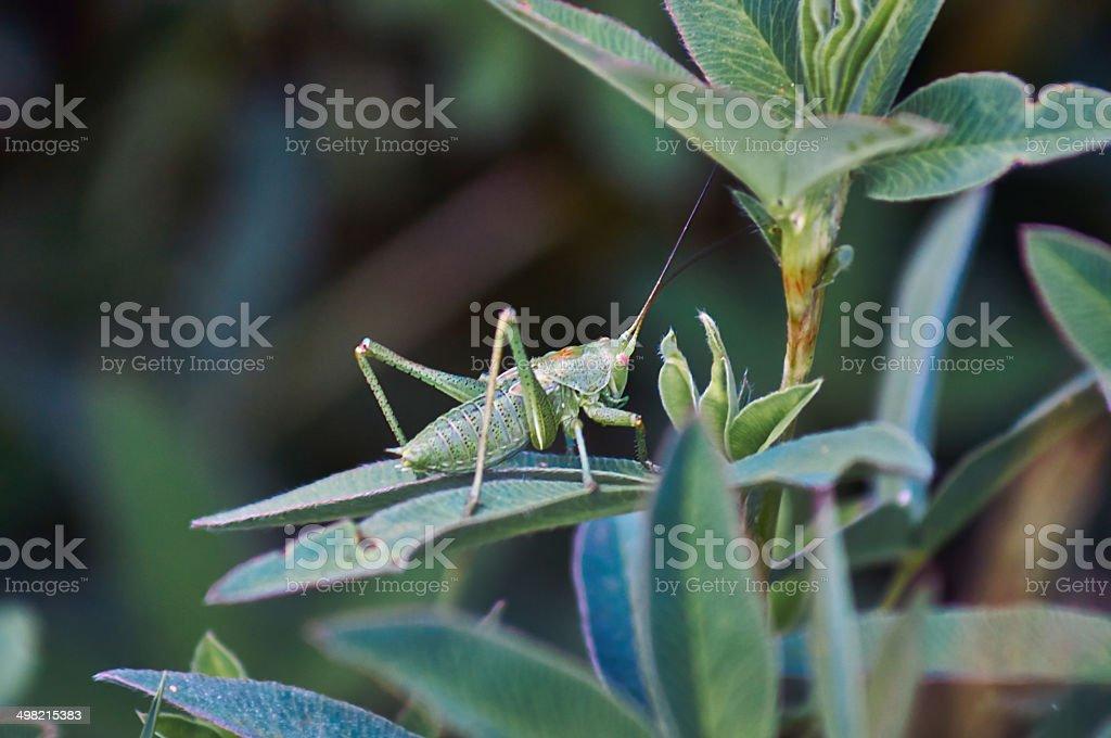 Small green grasshopper. royalty-free stock photo