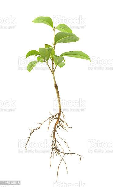 Small green leaved sapling and its roots picture id146913618?b=1&k=6&m=146913618&s=612x612&h=gbw6z8d jh5bgh q3apjdzv1qf5epfybfiiluyltkh8=